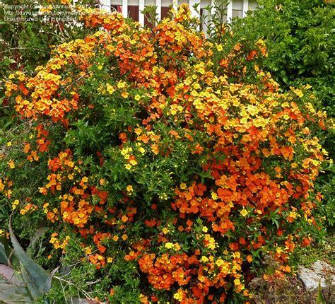 Marmalade Bush Or Orange Browallia (streptosolen Jamesonii
