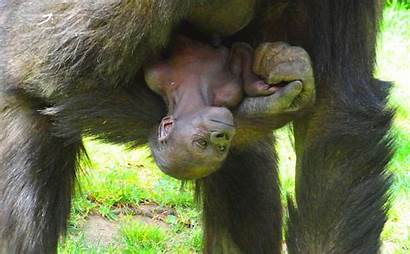 Monkey Animal Born Babies Parents Wild Mama
