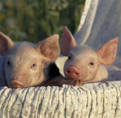 fleischqualitaet chinesischer zuechter schickt schweine auf sprungturm welt