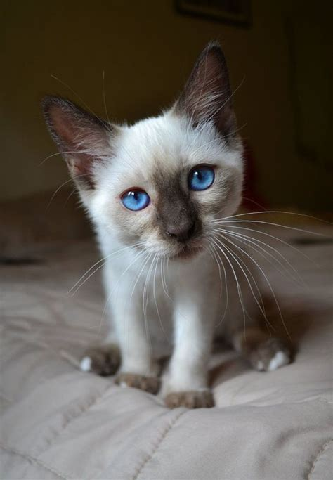 cats why meow siamese much adorable