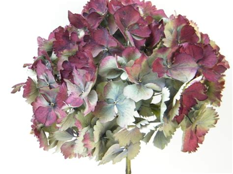 hydrangea heads dried hydrangea flower heads seconds dried flowers shop