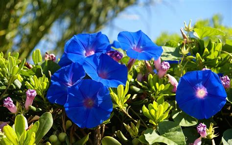 blue summer flowers blue summer flowers ipomoea wallpapers and images wallpapers pictures photos