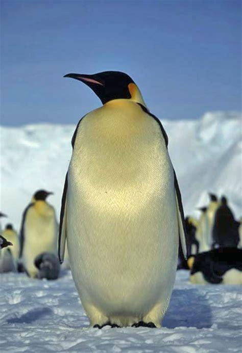 penguins ellesdeli
