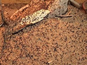 Ameisennest Im Haus : taillenwespen ameisen und wespen fotos tier ~ Markanthonyermac.com Haus und Dekorationen