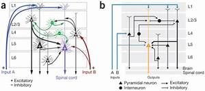 How To Create Neural Circuit Diagrams  Updated