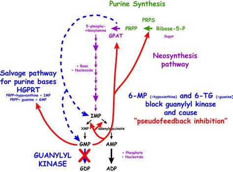 6 Mercaptopurine Mechanism