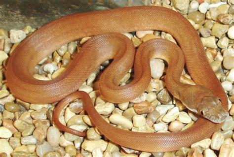 Breeding The Savu Python - Reptiles Magazine