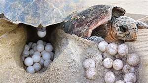 terengganu to ban sale of turtle eggs