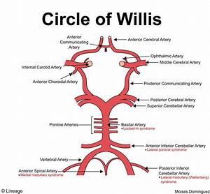 Circle Of Willis - Neurology