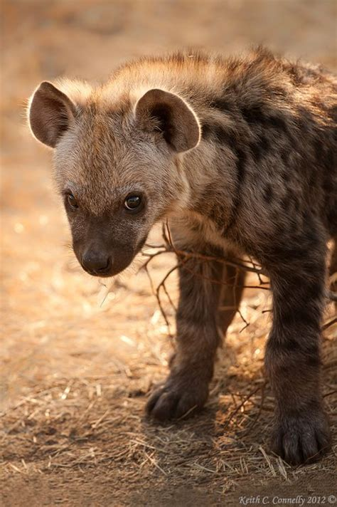 aardwolf hyena  wild dogs images  pinterest