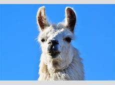 National Animal Of Bolivia Llama 123Countriescom