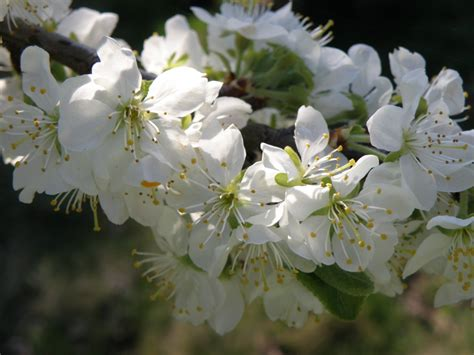 Free Images : nature branch white flower spring