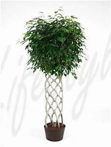 Ficus Benjamini Pflege Gelbe Blätter : welcher geflochtene stamm ist meiner pachira pflanzen ~ Lizthompson.info Haus und Dekorationen