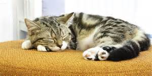 sleeping cat 6 interesting facts about your cat s sleeping habits