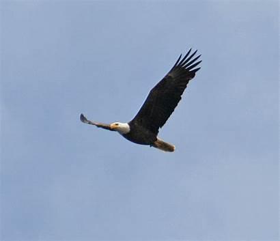 Eagle Bald Soar Flying Eagles Sky Overhead