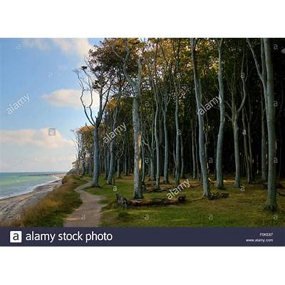 Beech forest mind wood ghost at the baltic sea