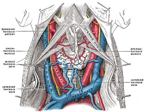 internal jugular vein wikipedia