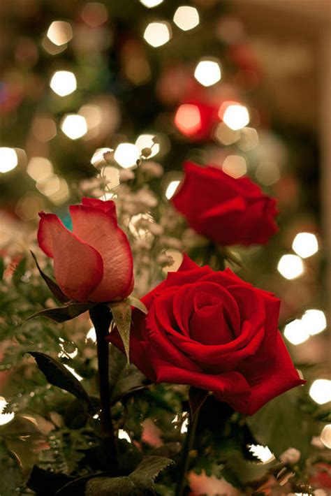 beautiful red roses pictures   images