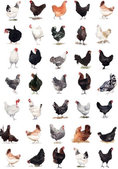 encyclop 233 die de la poule et du poulailler 199 a se passe au jardin