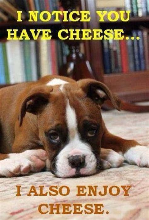 images  lovers  boxer dogs  understand