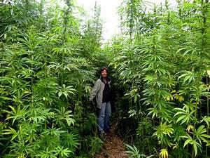 Growing Marijuana Indoors Vs  Outdoors