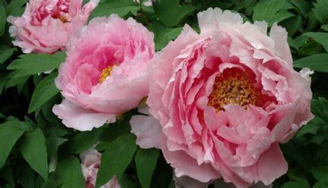 Labklājības zieds - kokveida peonija - DELFI