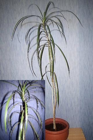 zimmerpalme  stamm kuerzen pflanzenpflege zimmerpflanzen
