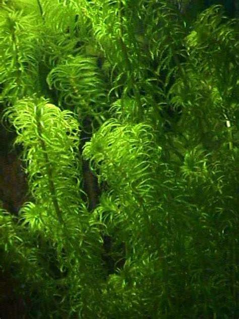 el acuaristaatlas de plantas acuaticasfotos egeria najas