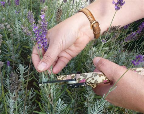 when should you plant lavender when and how should you prune back lavender the garden of eaden