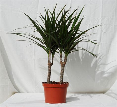 tropical house plants foothill tropicals inc indoor tropical house plants