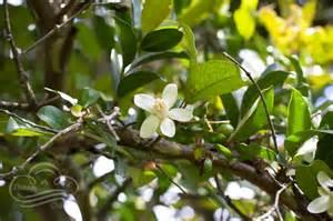 Fruit Tree Identification White Flower