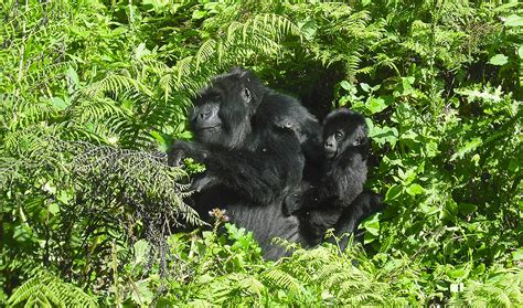 Bag of silverback coffee co. 6 Day Uganda Gorilla And Wildlife Tour - African Safaris, Coffee Tours, Mountain Gorilla Treks ...