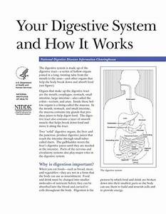 Your Digestive System And How It Works