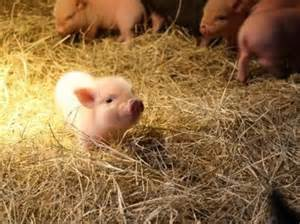 Cute Baby Potbelly Pigs