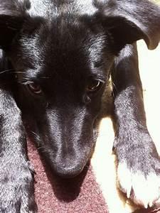 Blue heeler black lab mixed puppy | Sarah stuff | Pinterest