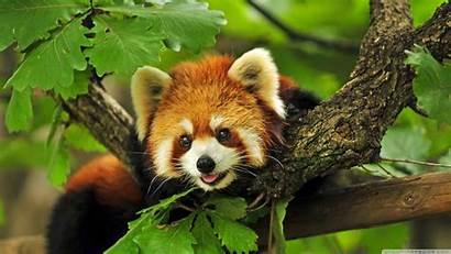 Panda Wallpapers Animal Background
