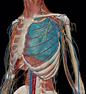 Human Body Anatomy Respiratory System