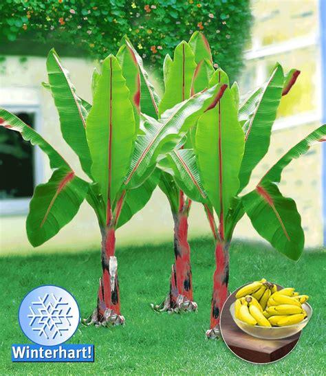 Winterharte Banane, Rot 1aqualität Kaufen Baldurgarten