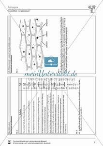 Aufbau Der Zwiebel : aufbau mikroskop vertretungsstunde meinunterricht ~ Lizthompson.info Haus und Dekorationen