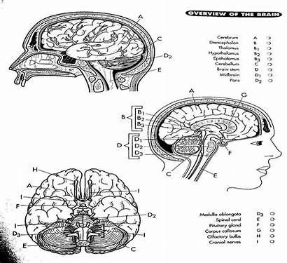 Coloring Brain Pages Diagram Anatomy Labeled Nerve