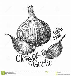 Garlic On A White Background. Sketch Stock Illustration ...