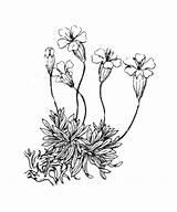 Moss Silene Drawing Acaulis Campion Getdrawings sketch template