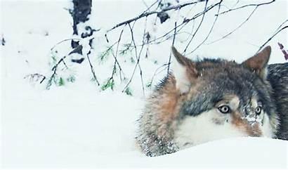Creatures Wolf Eating Snow Animal Imgur Animated