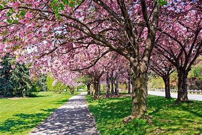 Trees Spring Tree Arborist Cherry Tell Blossom