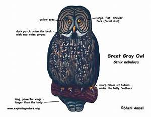 Owl  Great Gray