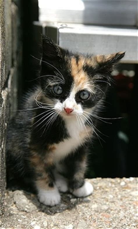 top  cutest calico kittens cute  tiny