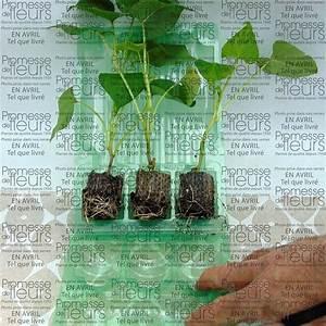 Patate Douce Plante : patate douce orl ans en plants ipomoea batatas ~ Dode.kayakingforconservation.com Idées de Décoration