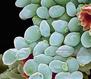 Candida Albicans Yeast Cells Sem Stock Photo