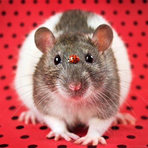 cute pet rat    melt  heart  diane oezdamar