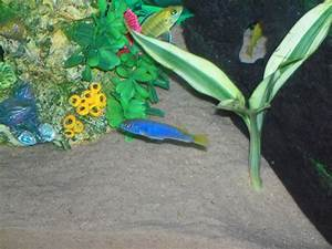 cichlids.com: Blue yellow fins